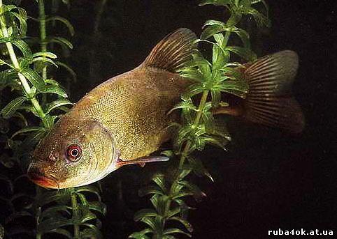 рыбалка, линь
